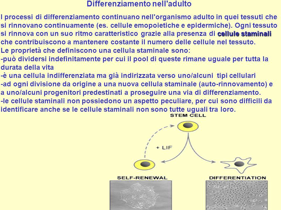 Differenziamento nell'adulto cellule staminali I processi di differenziamento continuano nell'organismo adulto in quei tessuti che si rinnovano contin