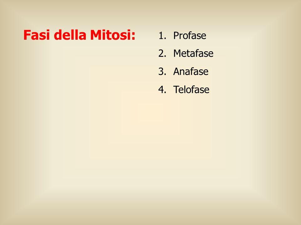 Fasi della Mitosi: 1.Profase 2.Metafase 3.Anafase 4.Telofase