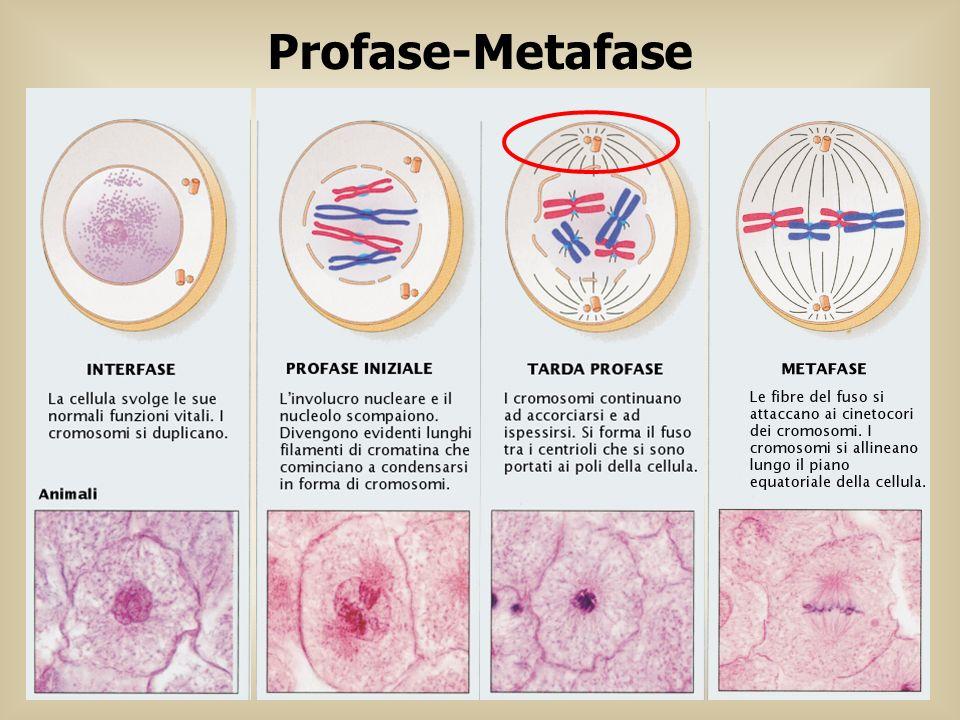 Profase-Metafase