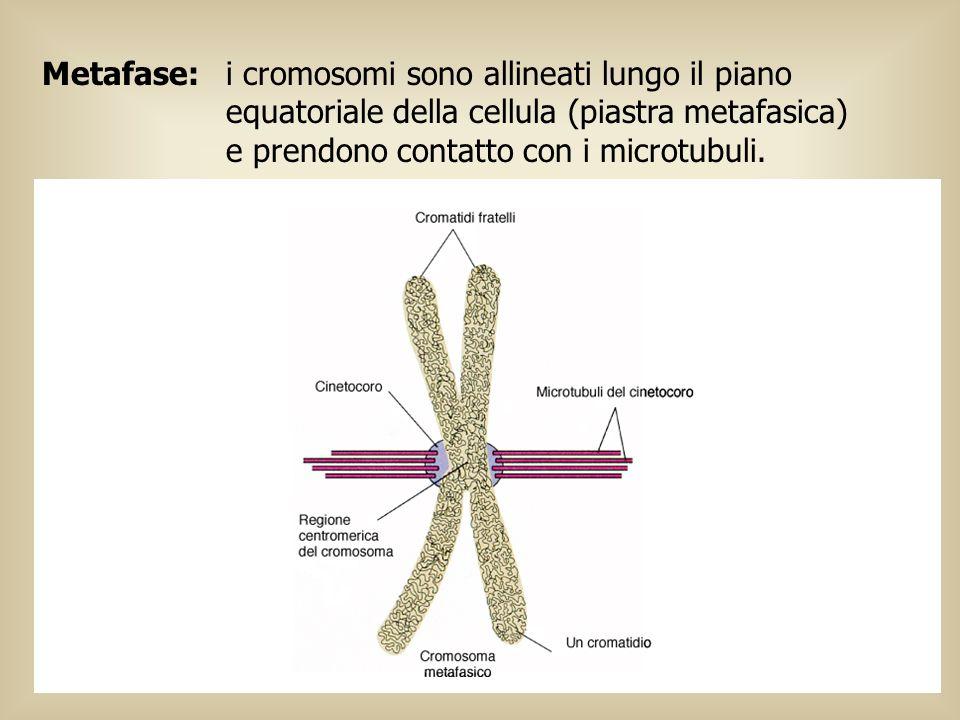 Metafase:i cromosomi sono allineati lungo il piano equatoriale della cellula (piastra metafasica) e prendono contatto con i microtubuli. Il cinetocoro