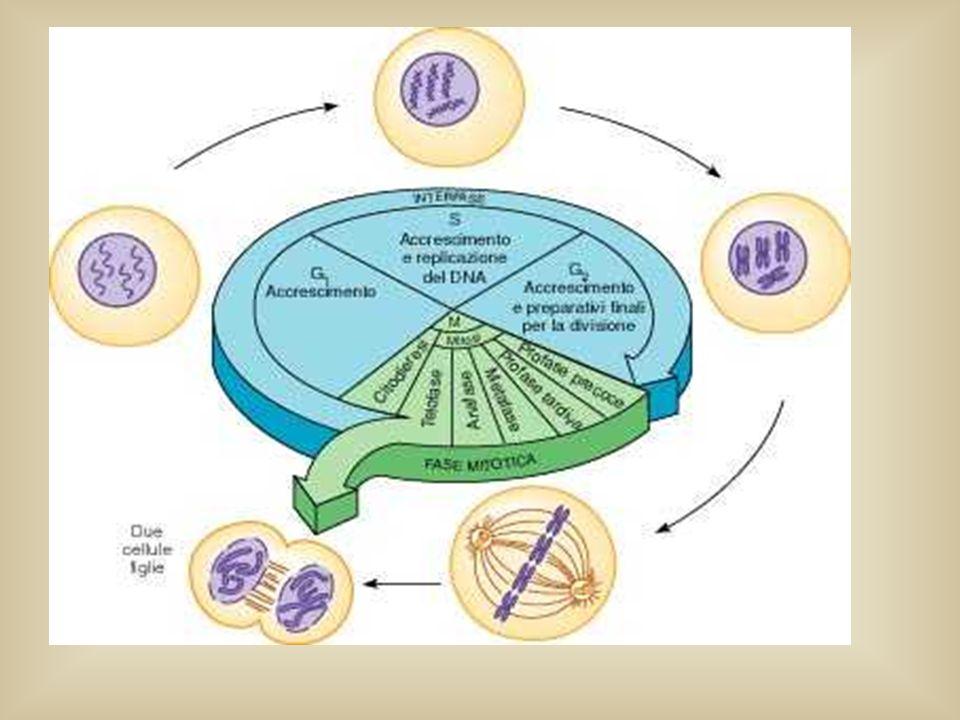 Pertanto: lassetto cromosomico di ogni gamete è la conseguenza diretta dellassortimento dei cromosomi delle diverse paia durante il processo meiotico.