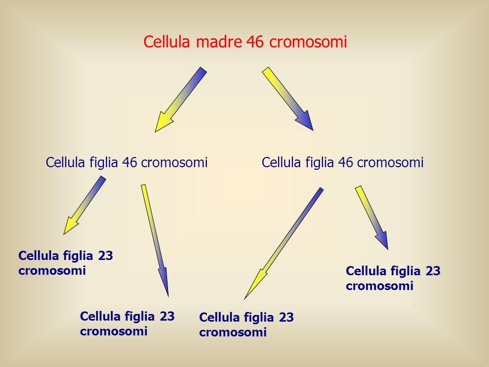 Cellula madre 46 cromosomi Cellula figlia 23 cromosomi Cellula figlia 46 cromosomi Cellula figlia 23 cromosomi