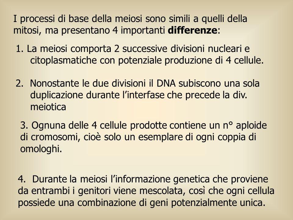 I processi di base della meiosi sono simili a quelli della mitosi, ma presentano 4 importanti differenze: 1. La meiosi comporta 2 successive divisioni