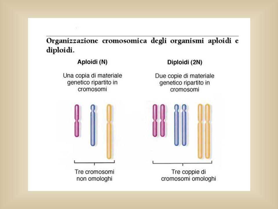 METAFASE I ANAFASE I: i componenti di una coppia di cromosomi omologhi si dirigono verso i poli opposti; i centromeri non si sono divisi quindi i cromosomi sono composti da due cromatidi e sono detti diade TELOFASE I : 2 cellule figlie con meta dei cromosomi formati ciascuno da due cromatidi