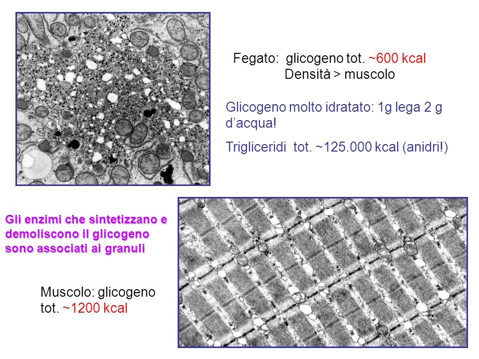 Fegato: glicogeno tot. ~600 kcal Densità > muscolo Muscolo: glicogeno tot. ~1200 kcal Glicogeno molto idratato: 1g lega 2 g dacqua! Trigliceridi tot.