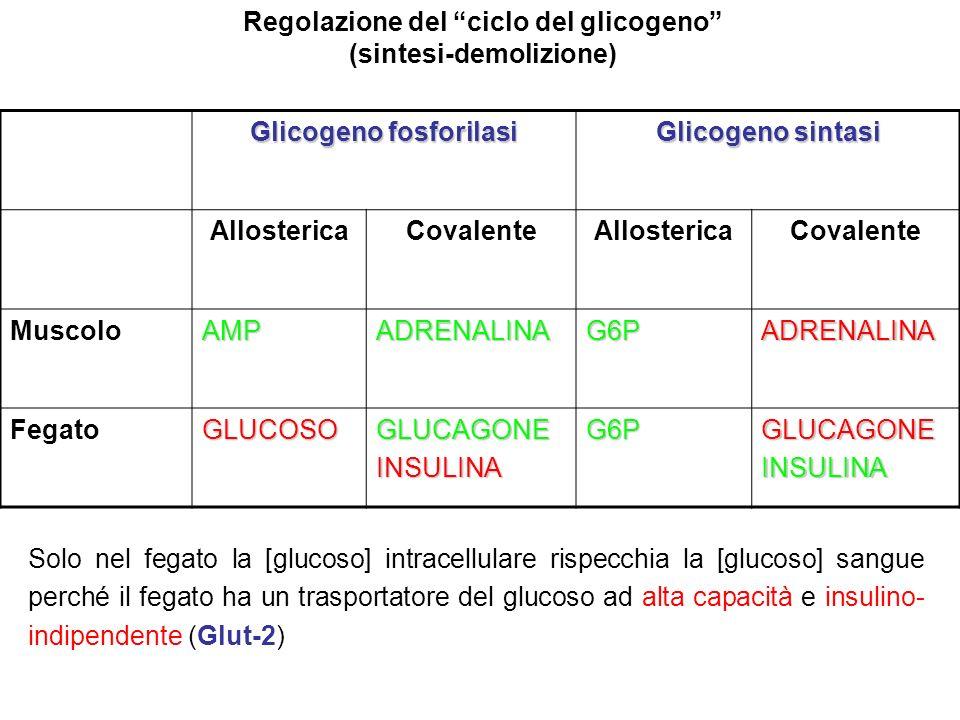 Regolazione del ciclo del glicogeno (sintesi-demolizione) Glicogeno fosforilasi Glicogeno sintasi AllostericaCovalenteAllostericaCovalente MuscoloAMPA