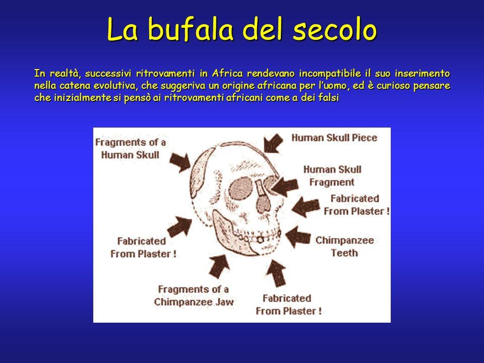 In realtà, successivi ritrovamenti in Africa rendevano incompatibile il suo inserimento nella catena evolutiva, che suggeriva un origine africana per luomo, ed è curioso pensare che inizialmente si pensò ai ritrovamenti africani come a dei falsi La bufala del secolo