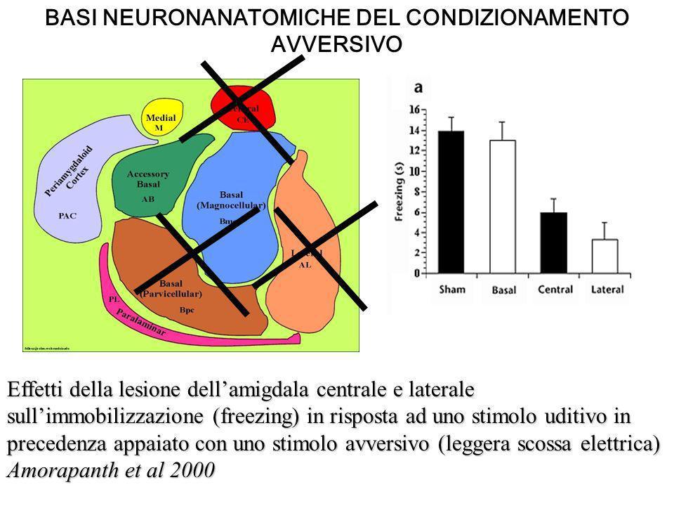 Effetti della lesione dellamigdala centrale e laterale sullimmobilizzazione (freezing) in risposta ad uno stimolo uditivo in precedenza appaiato con u
