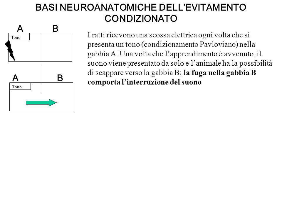BASI NEUROANATOMICHE DELLEVITAMENTO CONDIZIONATO Tono BA AB I ratti ricevono una scossa elettrica ogni volta che si presenta un tono (condizionamento