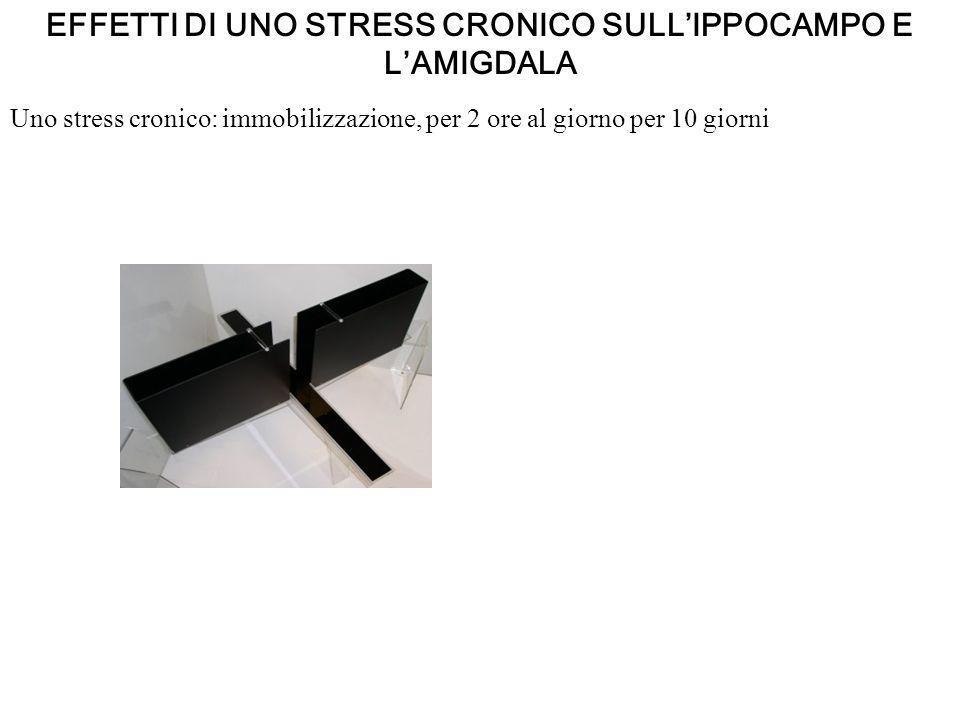 EFFETTI DI UNO STRESS CRONICO SULLIPPOCAMPO E LAMIGDALA Uno stress cronico: immobilizzazione, per 2 ore al giorno per 10 giorni