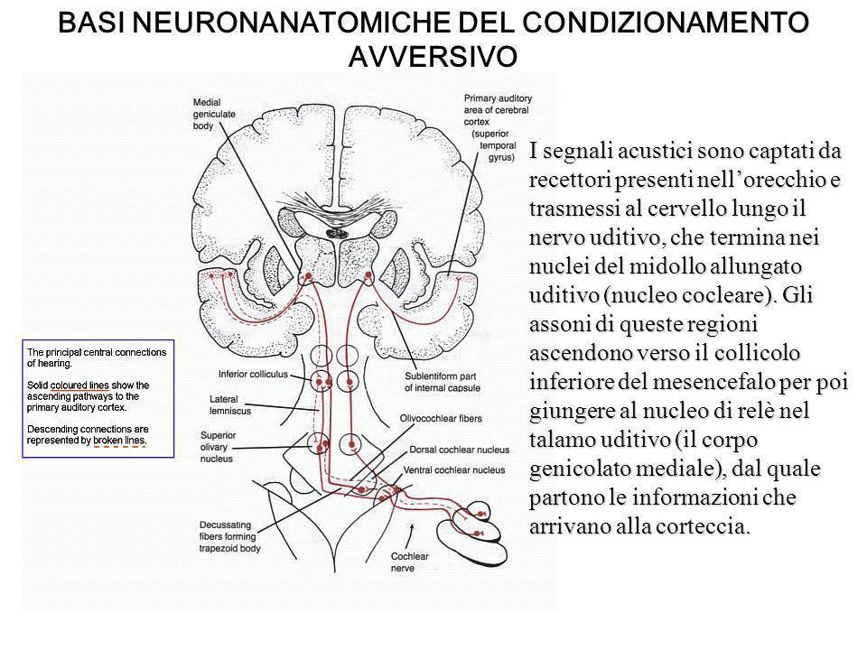 Aboliscono il condizionamento al suono Nessun effetto La formazione di uno stimolo condizionato è dipendente da strutture sottocorticali BASI NEURONANATOMICHE DEL CONDIZIONAMENTO AVVERSIVO