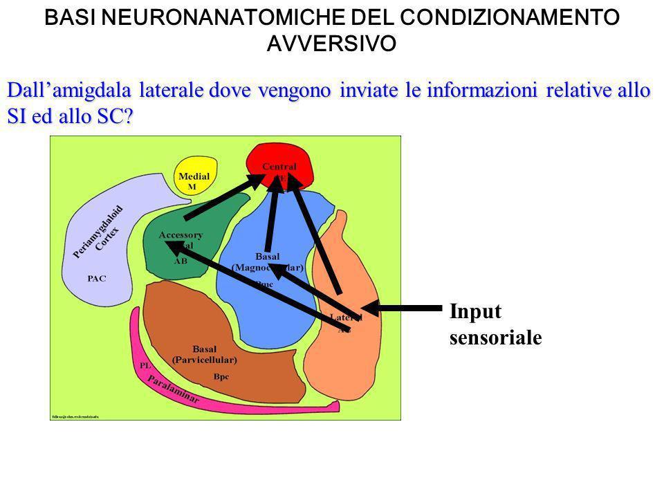 Dallamigdala laterale dove vengono inviate le informazioni relative allo SI ed allo SC? Input sensoriale BASI NEURONANATOMICHE DEL CONDIZIONAMENTO AVV