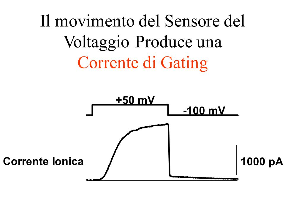 Il movimento del Sensore del Voltaggio Produce una Corrente di Gating +50 mV -100 mV 1000 pA Corrente Ionica