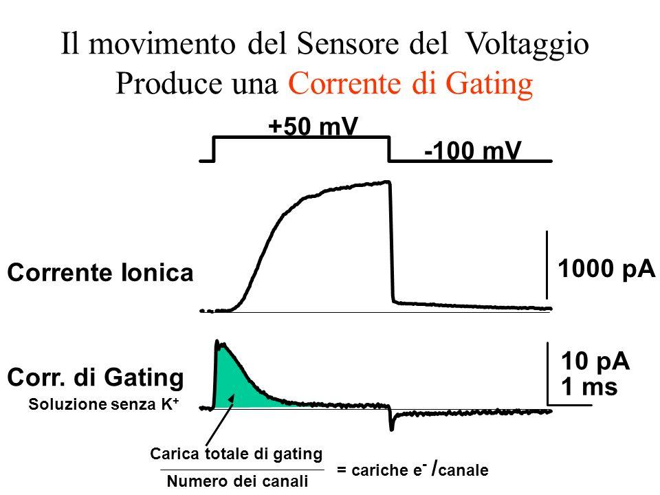 +50 mV -100 mV 1000 pA 10 pA 1 ms Carica totale di gating Numero dei canali = cariche e - / canale Corr. di Gating Soluzione senza K + Corrente Ionica