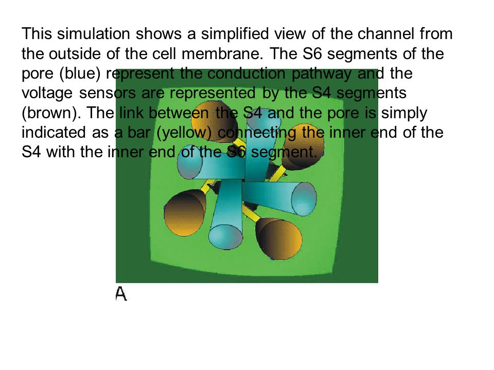 This simulation shows a simplified view of the channel from the outside of the cell membrane. The S6 segments of the pore (blue) represent the conduct