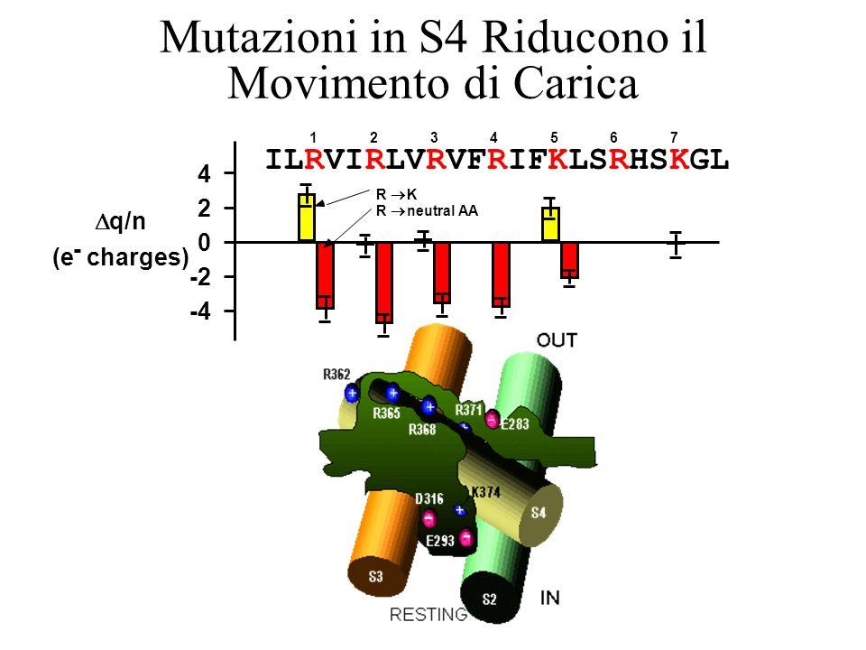 Mutazioni in S4 Riducono il Movimento di Carica ILRVIRLVRVFRIFKLSRHSKGL 4 2 0 -2 -4 q/n (e - charges) 1234567 R K R neutral AA