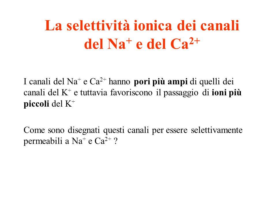 La selettività ionica dei canali del Na + e del Ca 2+ I canali del Na + e Ca 2+ hanno pori più ampi di quelli dei canali del K + e tuttavia favoriscon