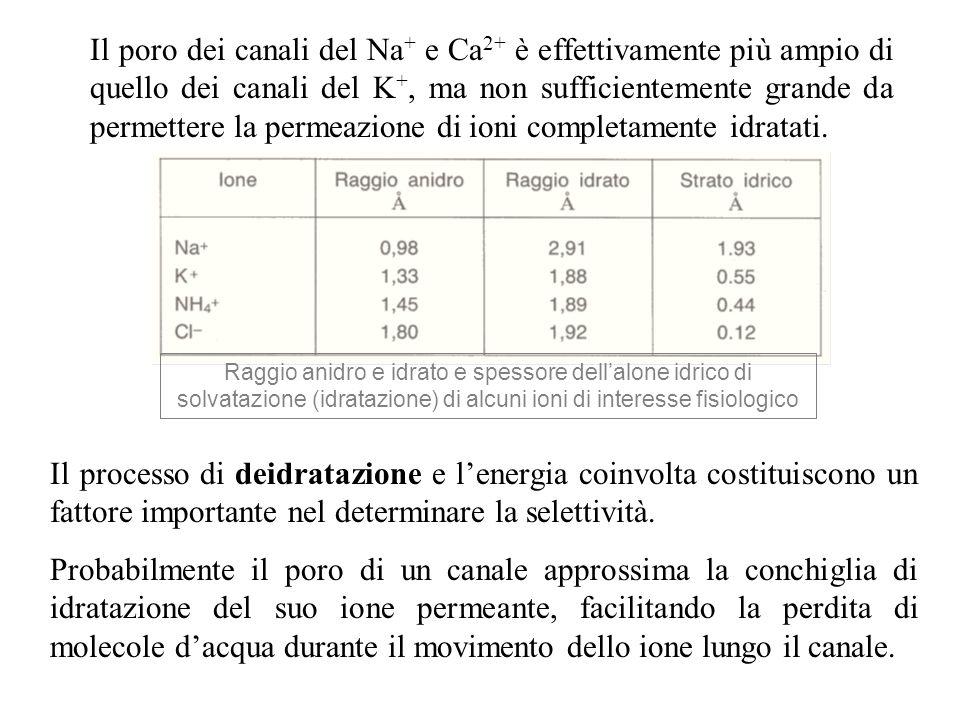 Raggio anidro e idrato e spessore dellalone idrico di solvatazione (idratazione) di alcuni ioni di interesse fisiologico Il poro dei canali del Na + e