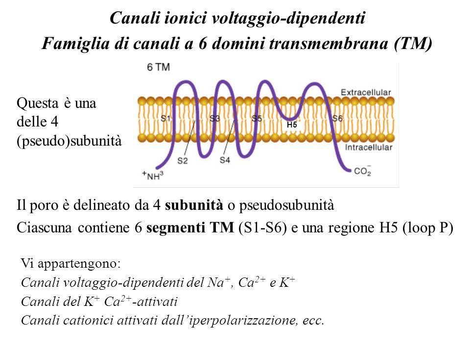 Evidenze per la presenza di siti di legame: Una dipendenza della permeabilità allo ione dalla composizione e dalla concentrazione dello ione implica la presenza di siti di legame nel canale Conduttanza Concentrazione del Na + o K + K+K+ Na +