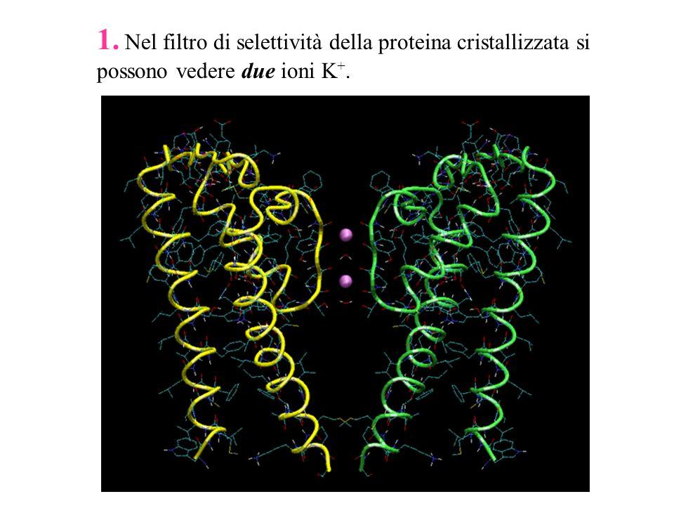 1. Nel filtro di selettività della proteina cristallizzata si possono vedere due ioni K +.