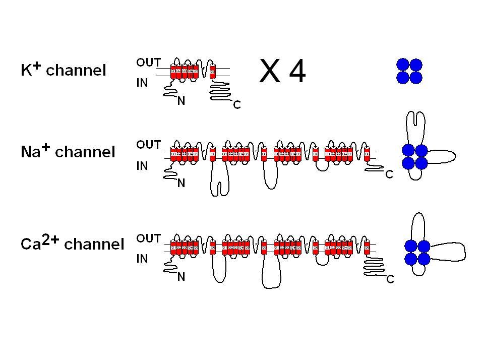 Canali del K inward rectifier Famiglia di canali a 2 domini transmembrana (TM) Il poro è delineato da 4 subunità (Kir) Ciascuna contiene 2 segmenti TM e un loop interno Permettono una corrente di K + inward maggiore della outward Questa è una delle 4 (subunità