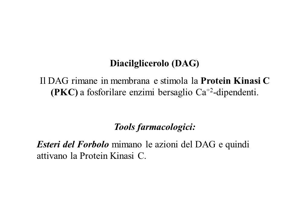 Diacilglicerolo (DAG) Il DAG rimane in membrana e stimola la Protein Kinasi C (PKC) a fosforilare enzimi bersaglio Ca +2 -dipendenti. Tools farmacolog