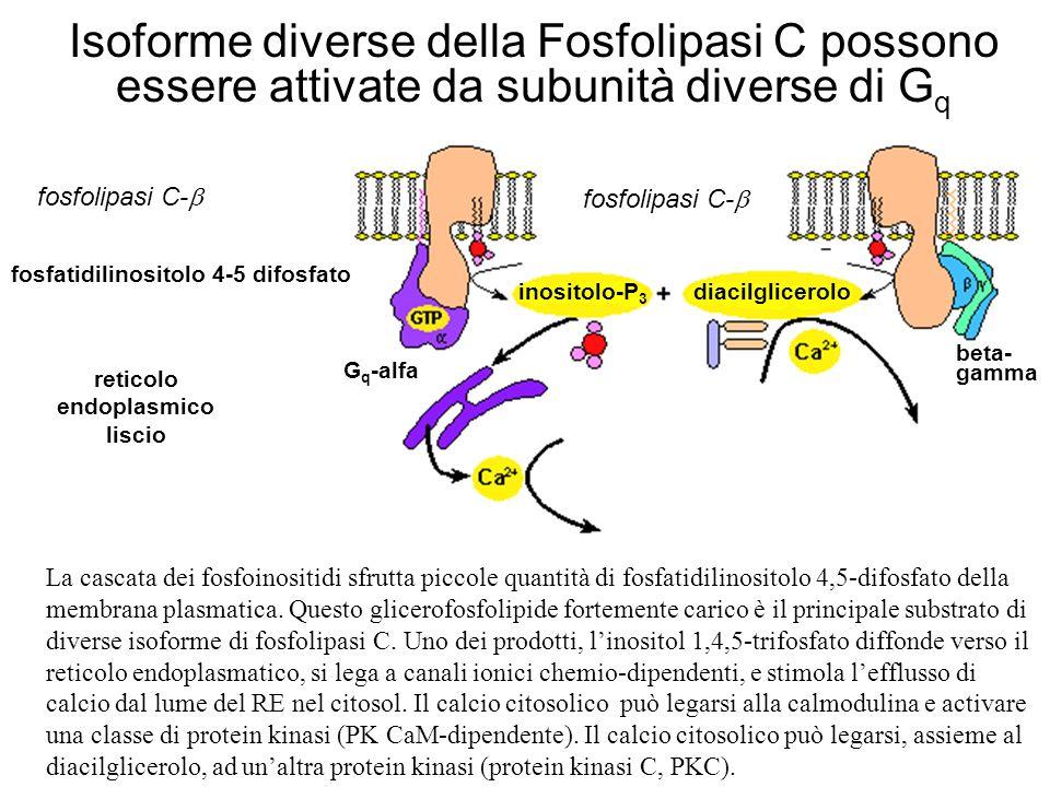 Isoforme diverse della Fosfolipasi C possono essere attivate da subunità diverse di G q La cascata dei fosfoinositidi sfrutta piccole quantità di fosf