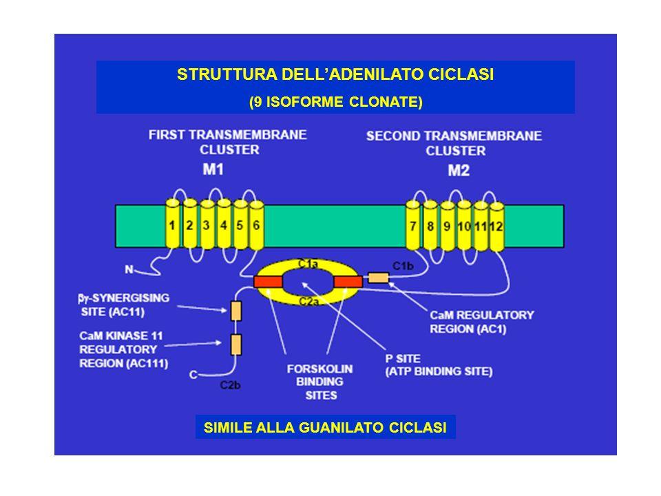 STRUTTURA DELLADENILATO CICLASI (9 ISOFORME CLONATE) SIMILE ALLA GUANILATO CICLASI