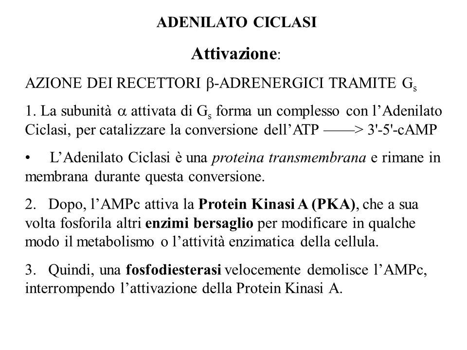 ADENILATO CICLASI Attivazione : AZIONE DEI RECETTORI -ADRENERGICI TRAMITE G s 1. La subunità attivata di G s forma un complesso con lAdenilato Ciclasi