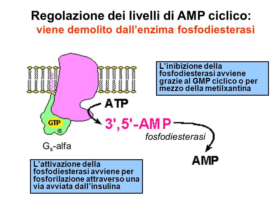 G s -alfa fosfodiesterasi Regolazione dei livelli di AMP ciclico: viene demolito dallenzima fosfodiesterasi Lattivazione della fosfodiesterasi avviene