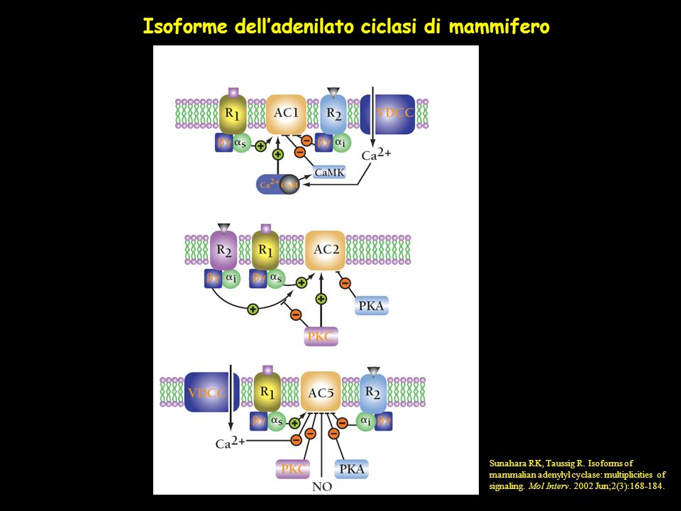 Isoforme delladenilato ciclasi di mammifero Sunahara RK, Taussig R. Isoforms of mammalian adenylyl cyclase: multiplicities of signaling. Mol Interv. 2