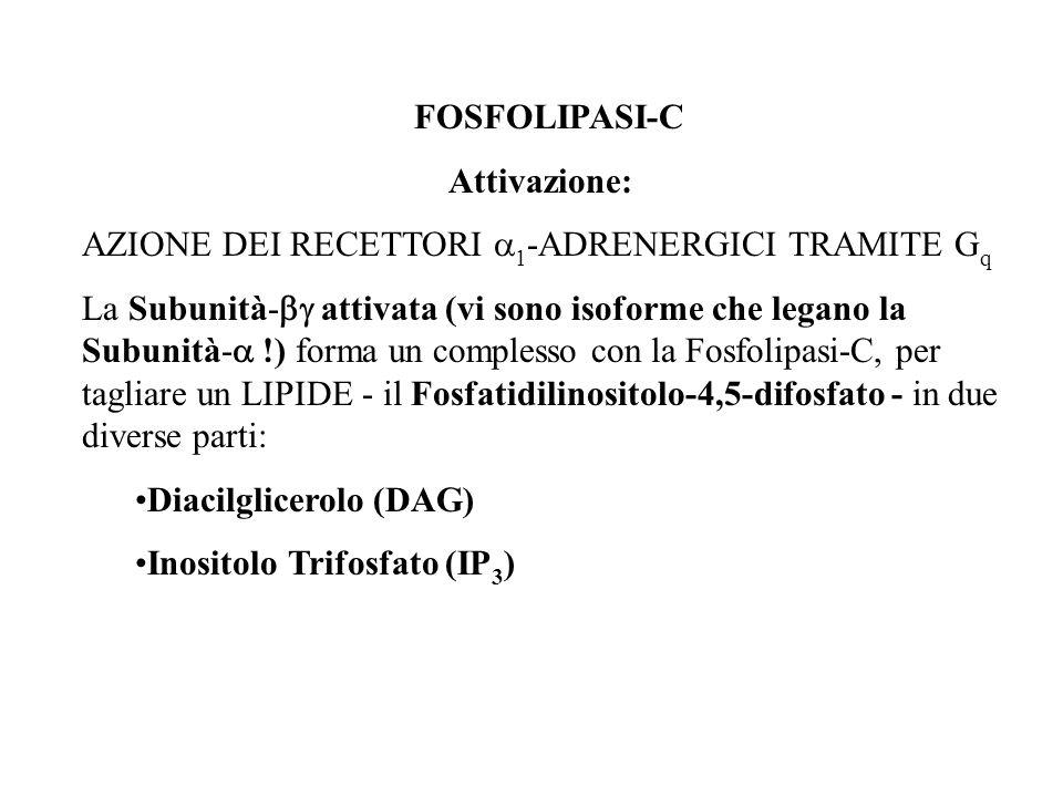 FOSFOLIPASI-C Attivazione: AZIONE DEI RECETTORI 1 -ADRENERGICI TRAMITE G q La Subunità- attivata (vi sono isoforme che legano la Subunità- !) forma un