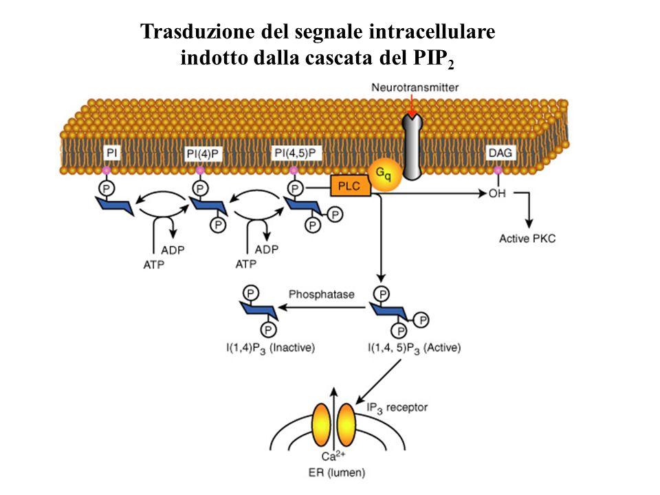 Trasduzione del segnale intracellulare indotto dalla cascata del PIP 2