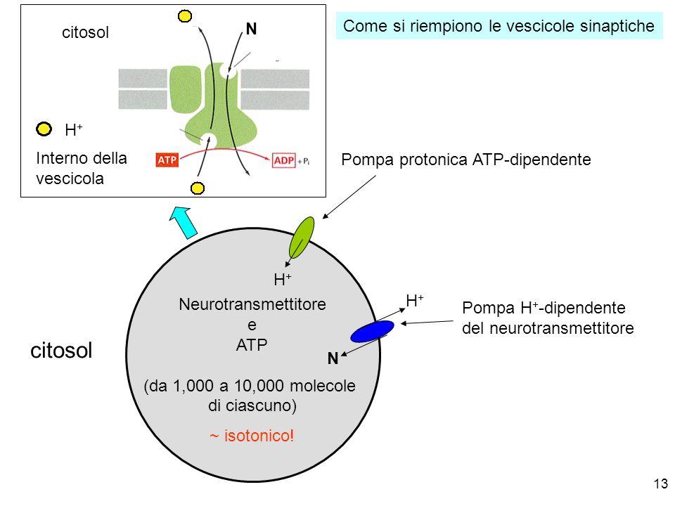 13 Neurotransmettitore e ATP (da 1,000 a 10,000 molecole di ciascuno) Pompa H + -dipendente del neurotransmettitore citosol Pompa protonica ATP-dipend