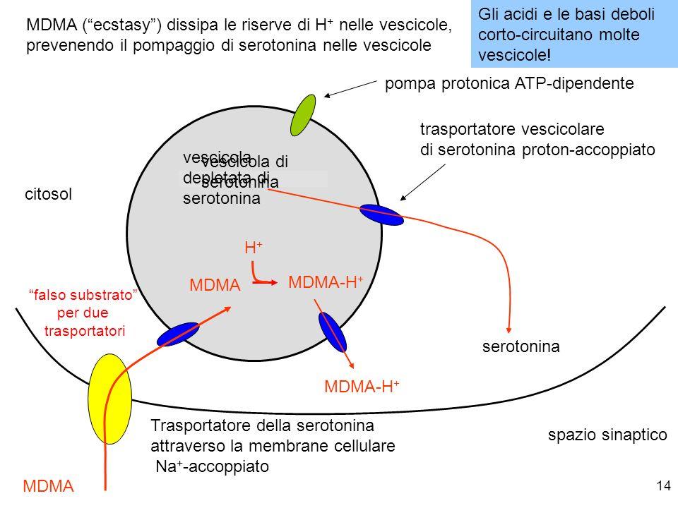 14 vescicola di serotonina trasportatore vescicolare di serotonina proton-accoppiato citosol pompa protonica ATP-dipendente spazio sinaptico Trasporta