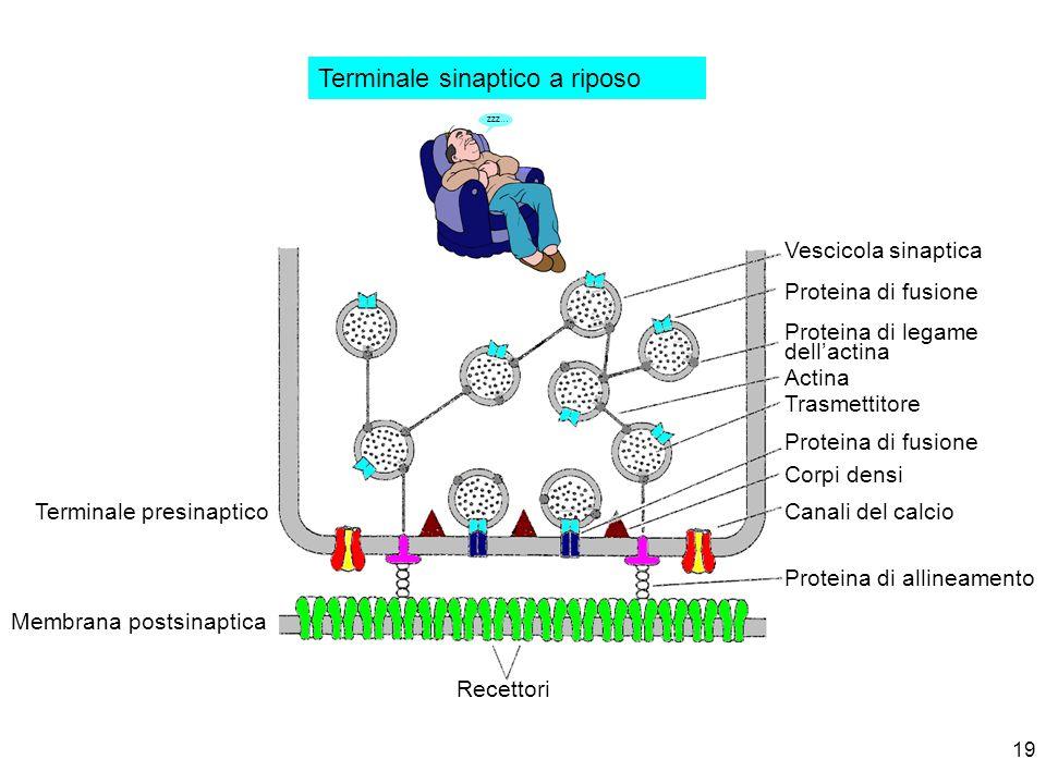 19 zzz… Terminale sinaptico a riposo Vescicola sinaptica Proteina di fusione Proteina di legame dellactina Actina Trasmettitore Proteina di fusione Co