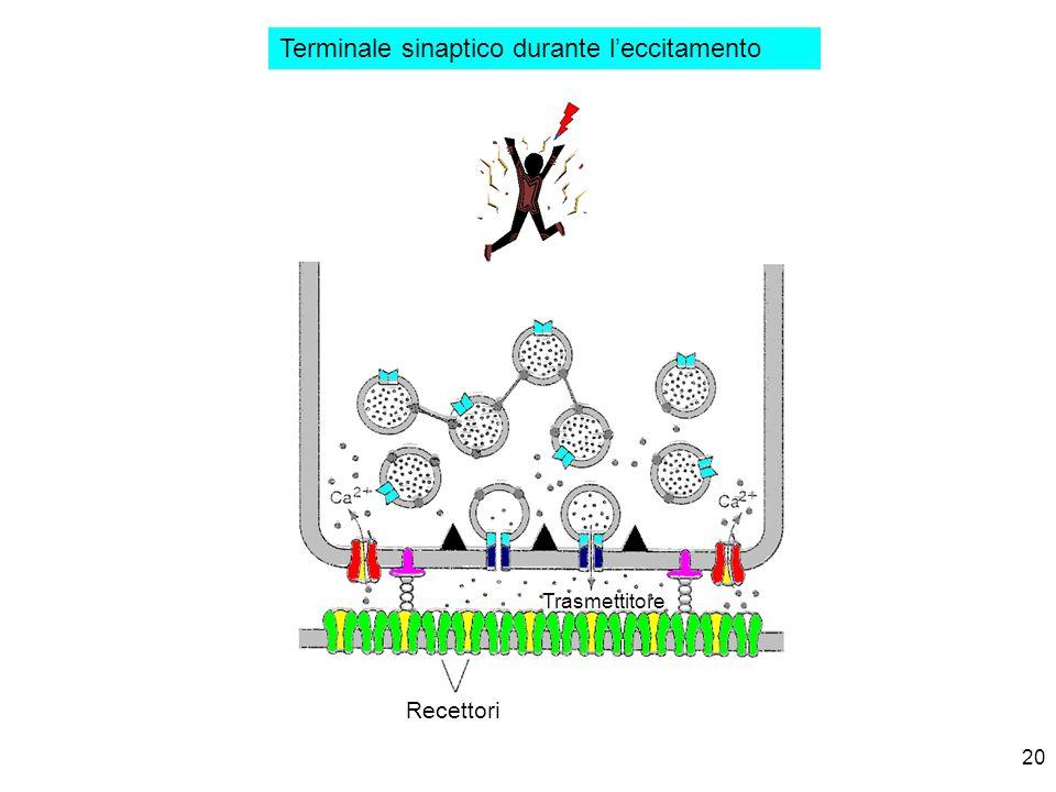 20 Terminale sinaptico durante leccitamento Recettori Trasmettitore