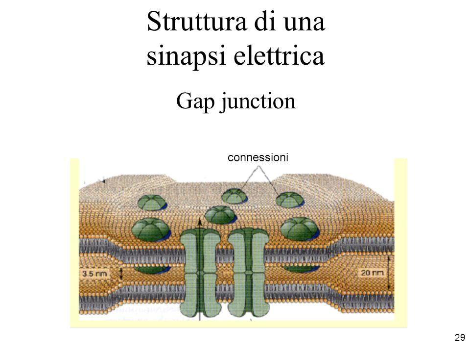 29 Struttura di una sinapsi elettrica Gap junction connessioni