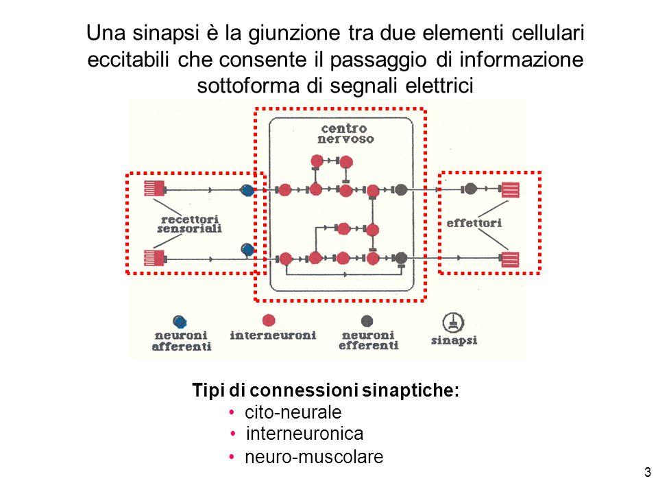 3 Una sinapsi è la giunzione tra due elementi cellulari eccitabili che consente il passaggio di informazione sottoforma di segnali elettrici Tipi di c