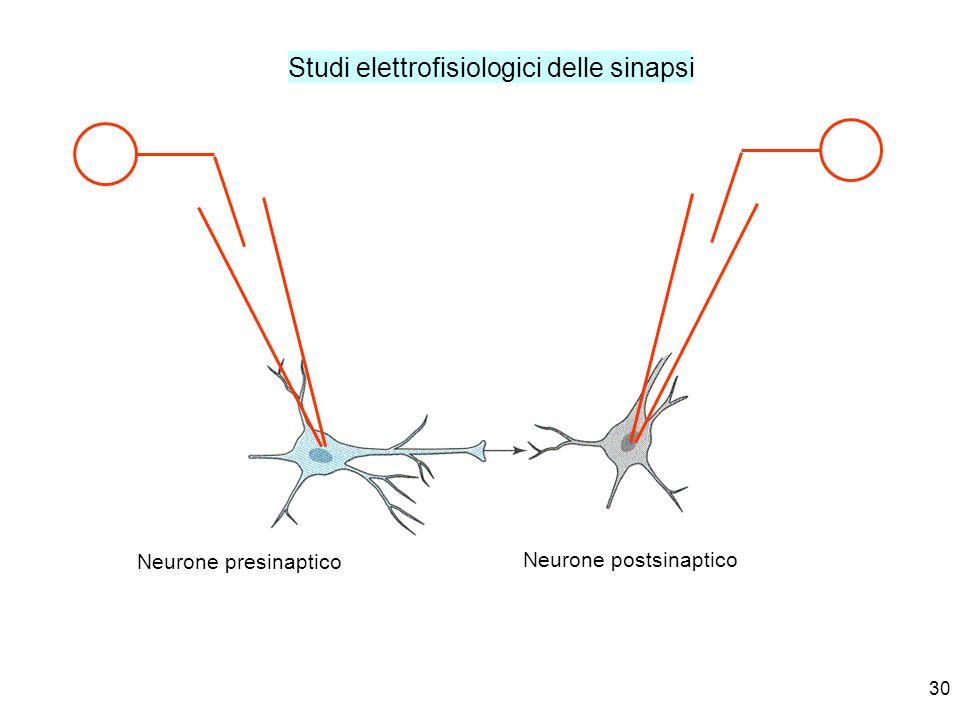 30 Studi elettrofisiologici delle sinapsi Neurone presinaptico Neurone postsinaptico