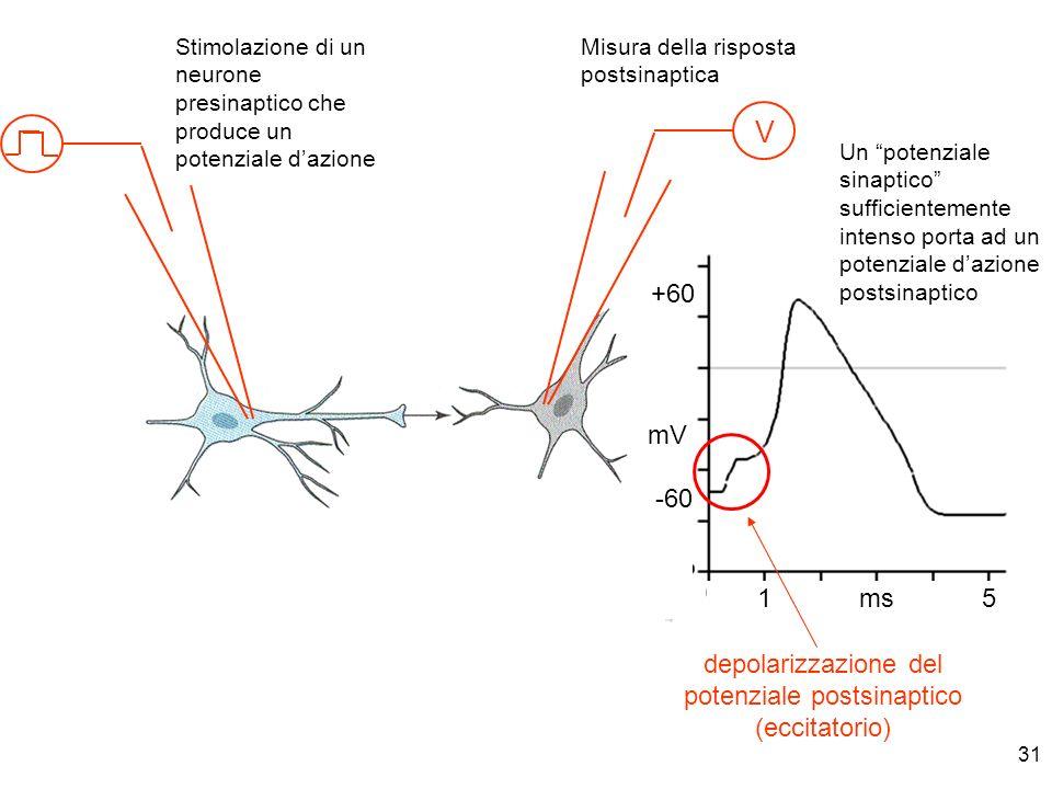 31 V Stimolazione di un neurone presinaptico che produce un potenziale dazione Misura della risposta postsinaptica 1 ms 5 mV -60 +60 Un potenziale sin