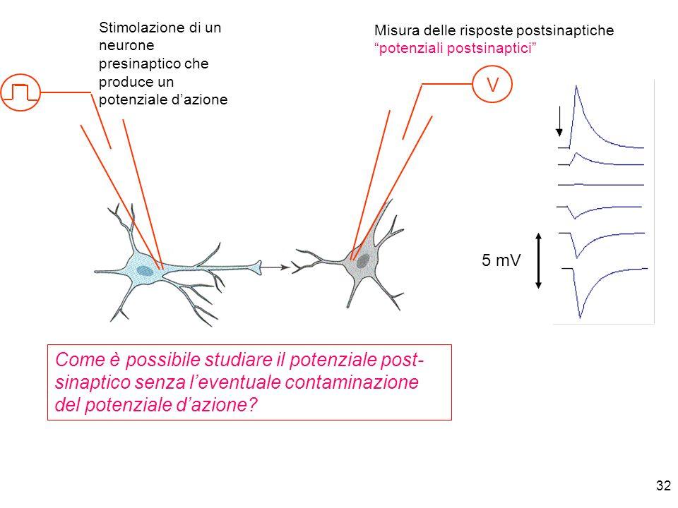 32 V 5 mV Stimolazione di un neurone presinaptico che produce un potenziale dazione Misura delle risposte postsinaptiche potenziali postsinaptici Come