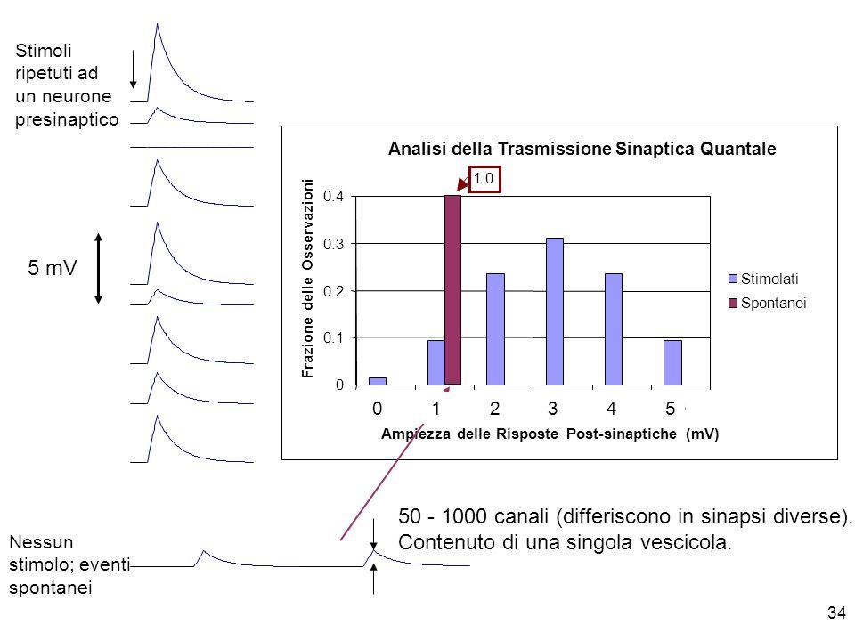 34 Nessun stimolo; eventi spontanei Stimoli ripetuti ad un neurone presinaptico 5 mV 50 - 1000 canali (differiscono in sinapsi diverse). Contenuto di