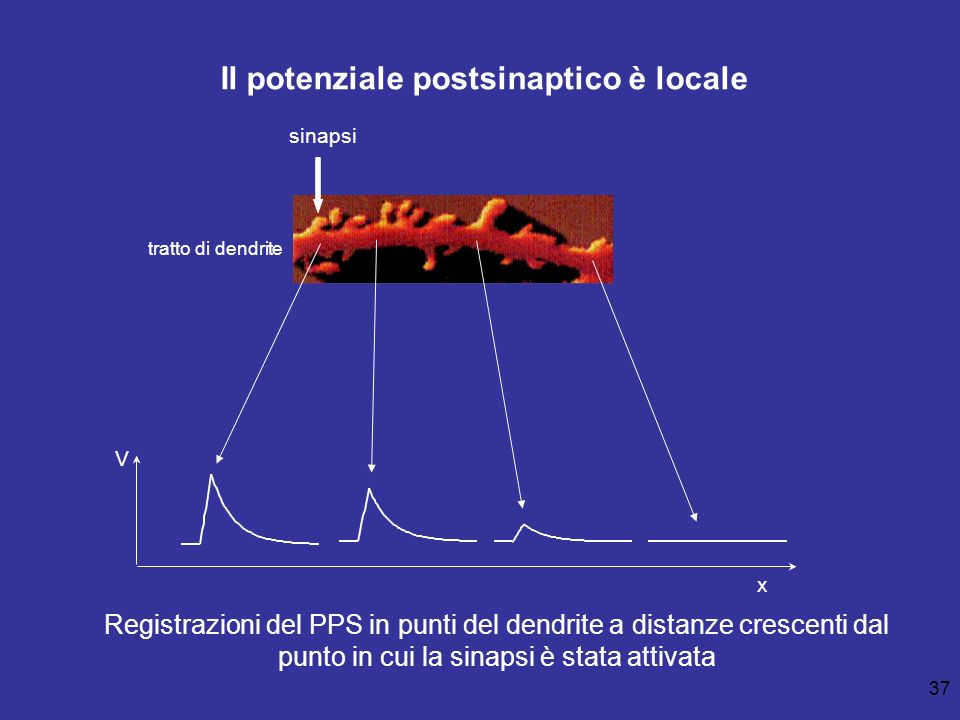 37 sinapsi Registrazioni del PPS in punti del dendrite a distanze crescenti dal punto in cui la sinapsi è stata attivata V x Il potenziale postsinapti