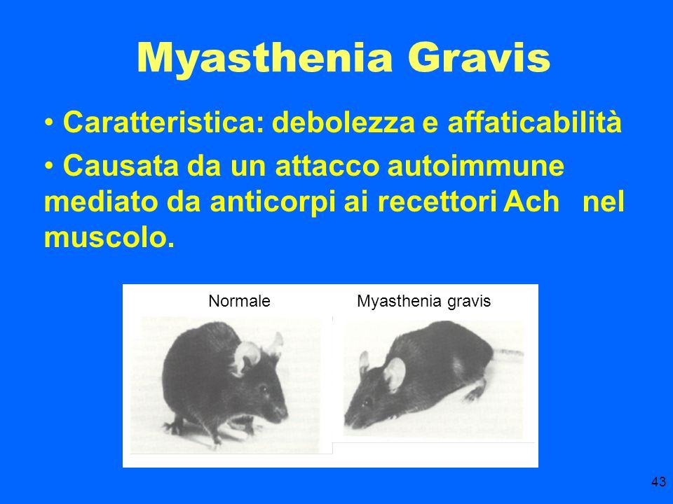 43 Myasthenia Gravis Caratteristica: debolezza e affaticabilità Causata da un attacco autoimmune mediato da anticorpi ai recettori Ach nel muscolo. No