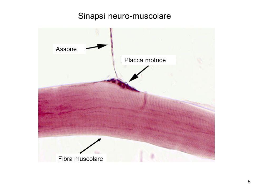5 Assone Placca motrice Fibra muscolare Sinapsi neuro-muscolare
