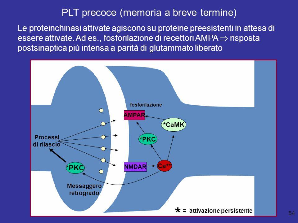 54 Processi di rilascio *PKC AMPAR NMDAR fosforilazione Ca ++ Messaggero retrogrado *CaMK *PKC * = attivazione persistente PLT precoce (memoria a brev