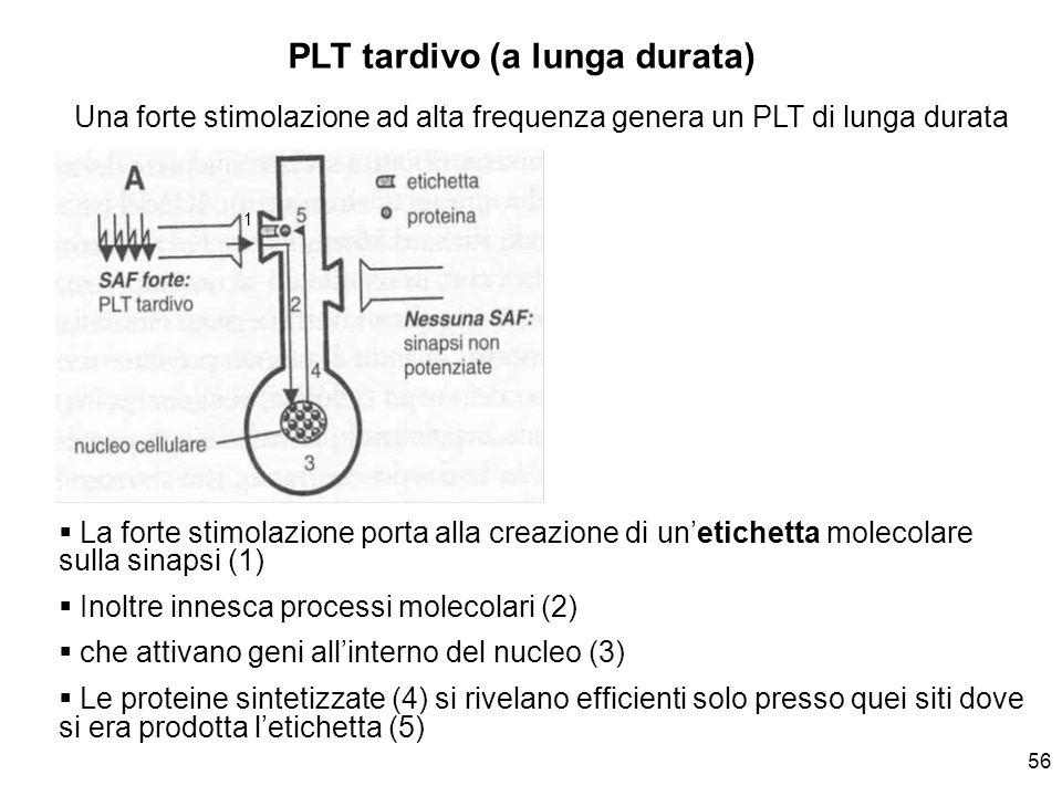 56 Una forte stimolazione ad alta frequenza genera un PLT di lunga durata La forte stimolazione porta alla creazione di unetichetta molecolare sulla s