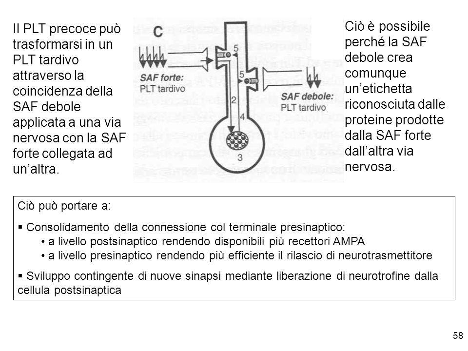 58 Il PLT precoce può trasformarsi in un PLT tardivo attraverso la coincidenza della SAF debole applicata a una via nervosa con la SAF forte collegata