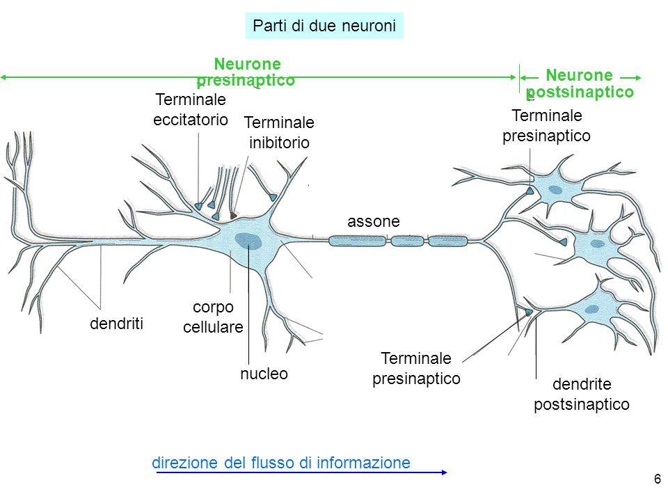 6 Parti di due neuroni direzione del flusso di informazione dendriti Terminale eccitatorio corpo cellulare nucleo assone Terminale presinaptico dendri